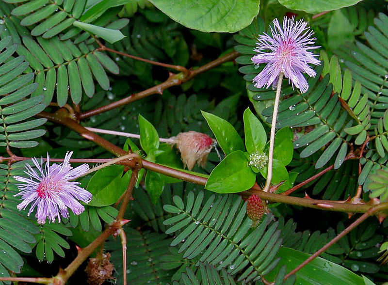 Mimosa_pudica picture