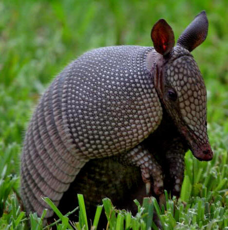 Portuguese might have been first Europeans to discover Australia, hints tiny drawing  Armadillo