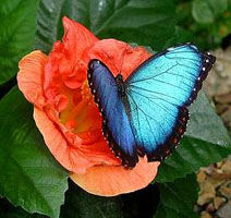 Blue morpho, Variable Cracker, heliconius serato, tropical buckeye, swallowtailed moth, hspace=