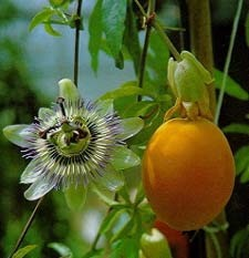 Passionfruit photo