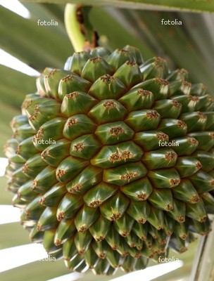 screw palm seed