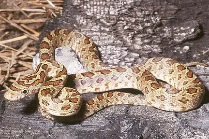 comments the common viper on the highlands of guatemala