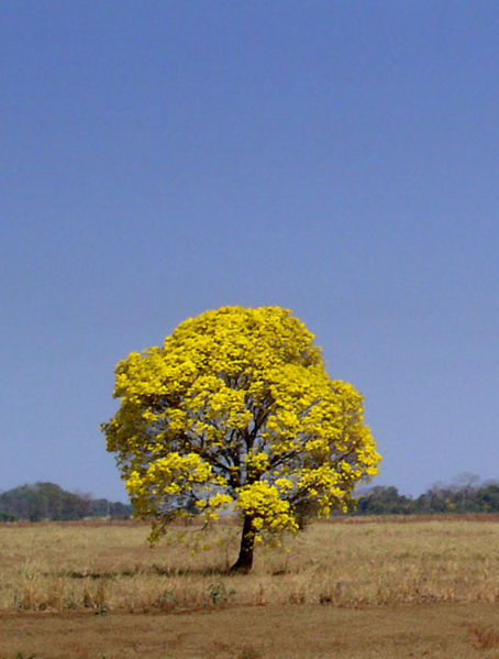 Tabebuia chrysantha, known as Ipê-amarelo (yellow ipê) in Brazil
